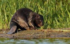 Więcej o: Informacja RDOŚ wsprawie szkodliwej działalności bobrów