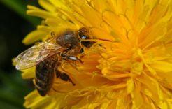 Więcej o: Bezpieczne dla pszczół  stosowanie środków ochrony roślin